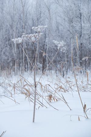 subdued: Winter dry frozen grass under snow and hoarfrost
