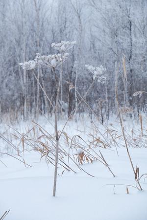 frozen winter: Winter dry frozen grass under snow and hoarfrost