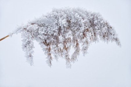 snowscene: Withered reed grass on the snow