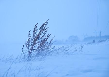 snowscene: Dry sagebrush grass under the blizzard ice storm in winter season