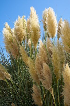 phragmites: The stems and panicles of Phragmites  in the sunny day. Malta Stock Photo