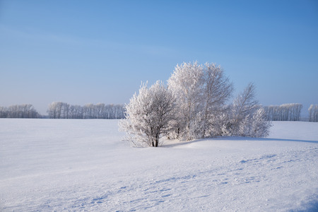 snowdrifts: Birch trees under hoarfrost in snow field in winter season. Altai, Siberia, Russia Stock Photo