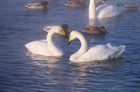 Couple of white whooper swans Cygnus cygnus  on lake