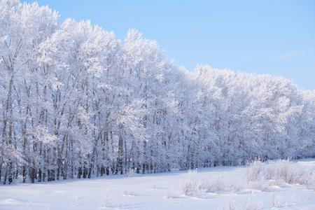 Forest belt of poplar trees under hoarfrost in snow field in winter season. Altai, Siberia, Russia