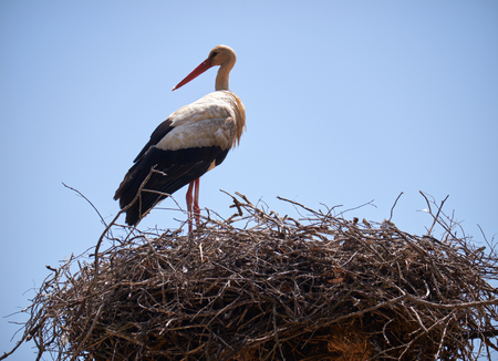 White Stork Ciconia ciconia on nest. Portugal