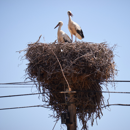 Couple of White Storks Ciconia ciconia on nest on electricity pole. Portugal Stock Photo