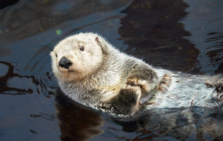 Kalan Sea otter (Enhydra lutris) swim on his back in water