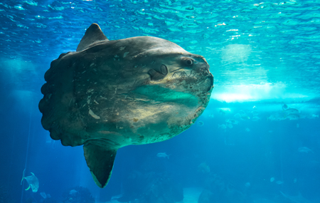 The ocean sunfish or common mola (Mola mola) - the heaviest known bony fish in the world - showcased in the main tank of the Lisbon Oceanarium. Portugal.