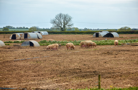 The view of the pigs near the pig ark on the outdoor pig unit in Devon. England 写真素材 - 115678432