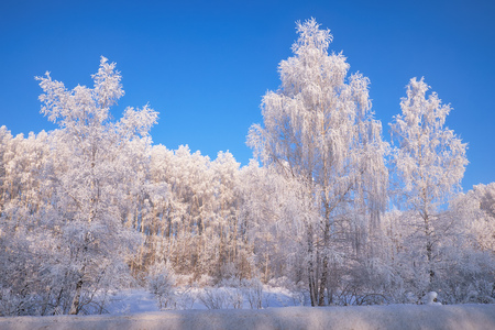 Siberian rural winter landscape. Frozen birch trees covered with hoarfrost and snow.