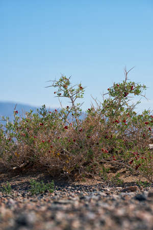 Shrub Nitraria sibirica with red berries fruits in mongolian arid desert. Western mongolia