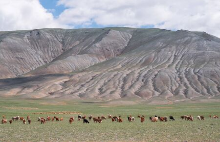 Herd of goats and sheep grazing in pasture. Mongolian mountain natural landscapes with eroded foothill slopes near lake Tolbo-Nuur in north Mongolia.