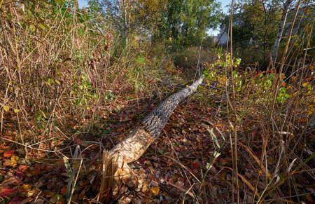 Beavers gnawed a tree trunk and tumbled down the aspen. Novosibirsk, Siberia, Russia 免版税图像 - 152749439
