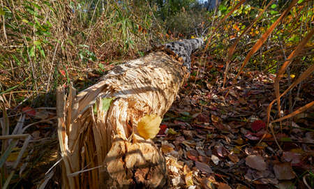 Beavers gnawed a tree trunk and tumbled down the aspen. Novosibirsk, Siberia, Russia 免版税图像 - 152524712