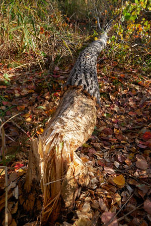 Beavers gnawed a tree trunk and tumbled down the aspen. Novosibirsk, Siberia, Russia 免版税图像 - 152749592
