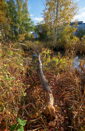 Beavers gnawed a tree trunk and tumbled down the aspen. Novosibirsk, Siberia, Russia 免版税图像 - 152749593