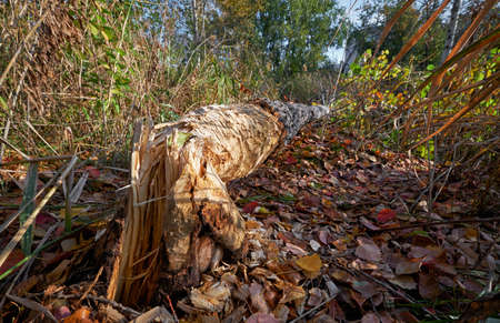 Beavers gnawed a tree trunk and tumbled down the aspen. Novosibirsk, Siberia, Russia 免版税图像 - 152749594