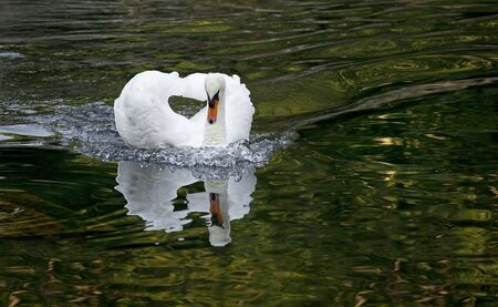 White swan in a forest lake.