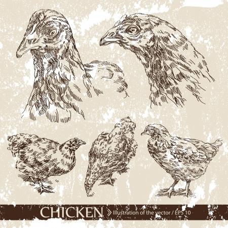 pollo caricatura: Pollo Vectores