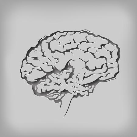 fissures: Brain  Vector format Illustration