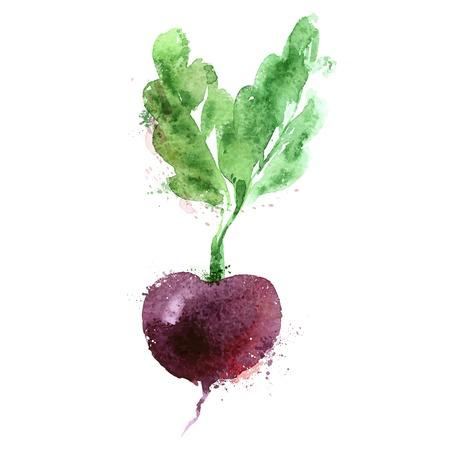 remolacha: dibujo de la acuarela. verduras en un fondo blanco. ilustración vectorial Vectores