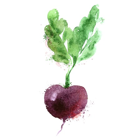 beets: watercolor drawing. vegetables on a white background. vector illustration