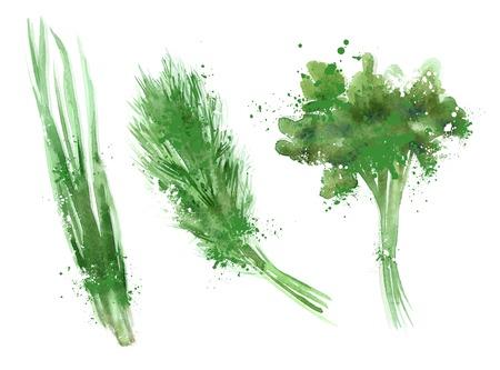 koriander: akvarell. ételek fehér háttérrel. vektoros illusztráció Illusztráció