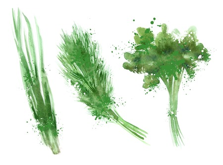 cilantro: watercolor. food on white background. vector illustration