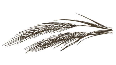 wheat illustration: sketch. wheat and rye, bread on a white background