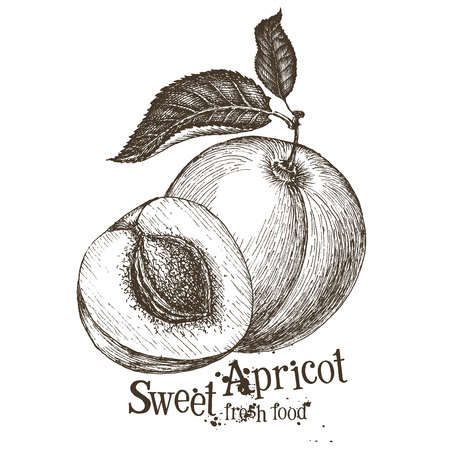 apricot on a white background. sketch. vector illustration