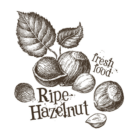 hazelnut: fresh nuts on a white background. vector illustration