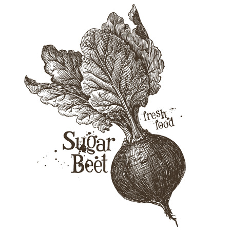 beets: fresh beets on a white background. vector illustration