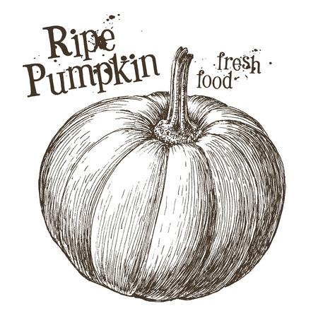 stocky: ripe pumpkin on a white background. vector illustration Illustration