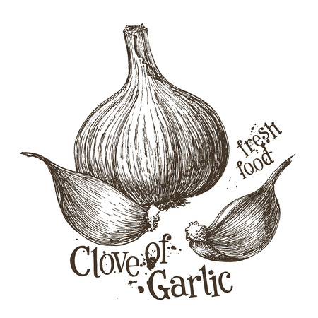 garlic clove: fresh garlic on a white background. vector illustration