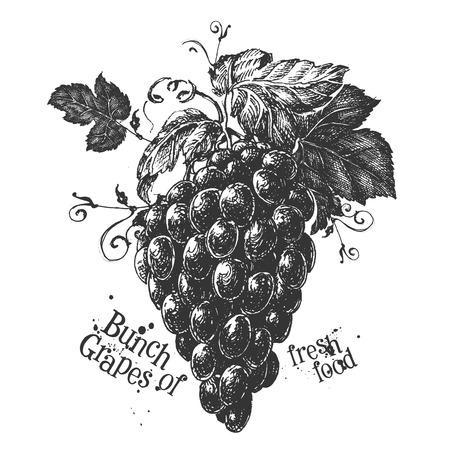 vitis: fresh fruit on a white background. illustration Stock Photo