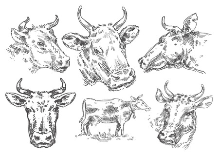veal: collection of cows and bulls on a white background. sketch Stock Photo