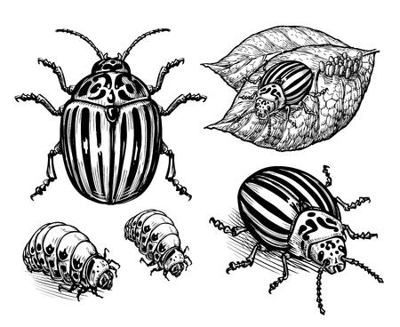 tuber: hand drawn colorado potato beetle. vector illustration Illustration