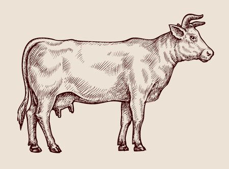 Sketch cow, dairy farm. Hand drawn vector illustration