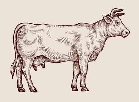 Sketch cow, dairy farm. Hand drawn vector illustration