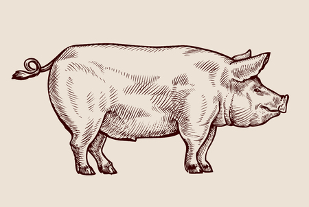 Sketch pig, pork. Hand drawn vector illustration Çizim