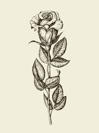 buds: Hand drawn vintage beautiful rose, flower. Vector illustration