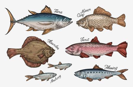 Meeresfrüchte. Sammlung Fisch wie Thunfisch, Forelle, Karpfen, Flunder, Sardellen Hering Vektor-Illustration