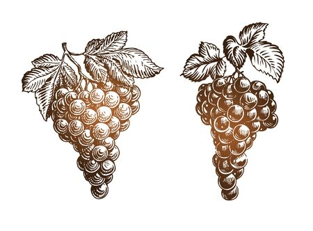 dietary: Bunch grapes sketch. Vintage vector illustration isolated on white background Illustration