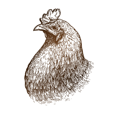 roost: Hand drawn portrait of chicken. Poultry animal, domestic fowl sketch. Vintage vector illustration