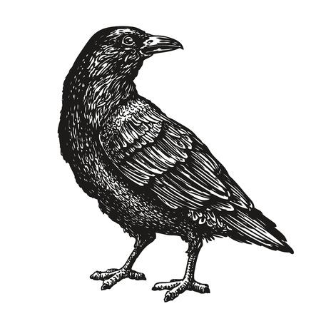 taxidermy: Hand-drawn black crow. Raven, bird sketch, vector illustration