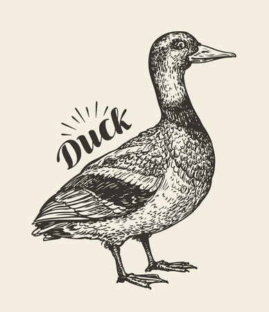 Hand-drawn duck. Bird, mallard, farm animal sketch. Vector illustration