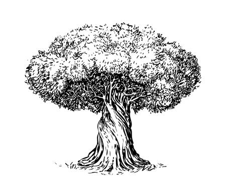 Incisione antica di olivo. Ecologia, ambiente, schizzo della natura. Illustrazione vettoriale d'epoca
