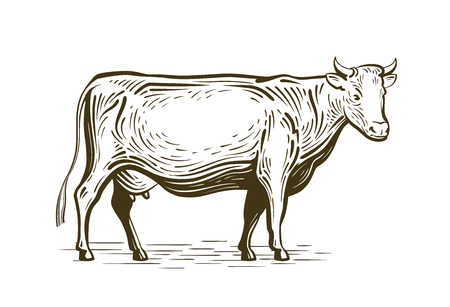 Farm animal, cow standing, sketch. Vintage vector illustration isolated on white background Vectores