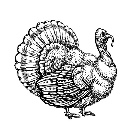 Turkey, turkeycock handdrawn sketch. Vector illustration isolated on white background