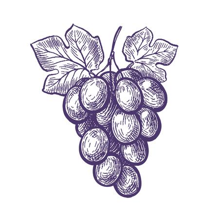 Hand drawn bunch of grapes. Fruit, vineyard, wine sketch.